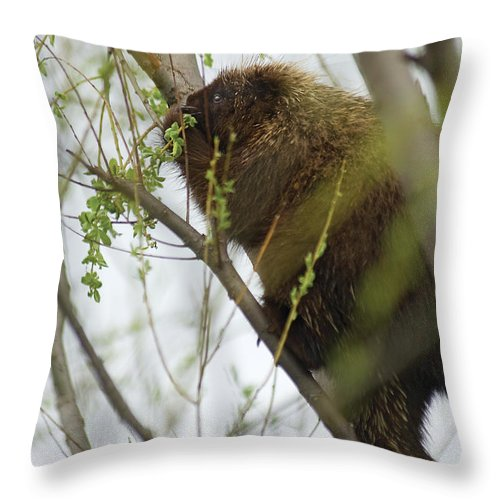 Porcupine Throw Pillow featuring the photograph Porcupine Eating Leaves by Steve Somerville
