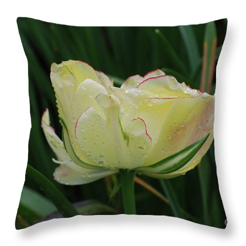 Tulip Throw Pillow featuring the photograph Pretty Cream Colored Tulip Edged In Red With Dew by DejaVu Designs