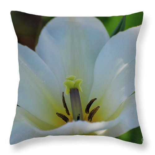 Tulip Throw Pillow featuring the photograph Pretty Perfect White Tulip Flower Blossom In The Spring by DejaVu Designs