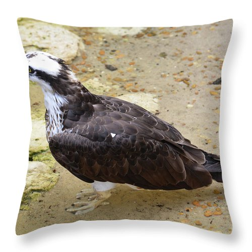 Osprey Throw Pillow featuring the photograph Profile Of An Osprey Bird In The Shallows by DejaVu Designs