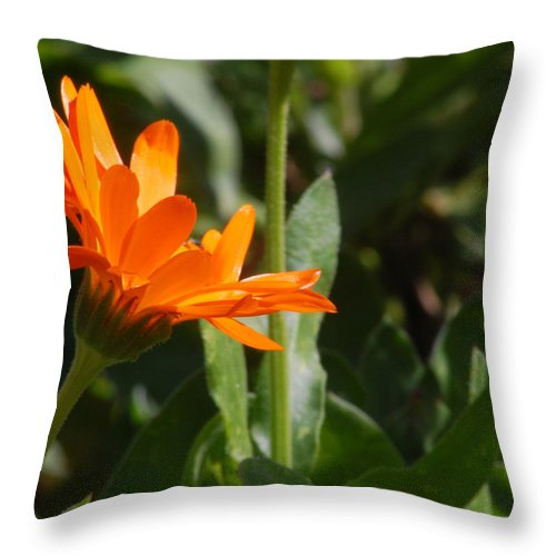 Orange Daisy Throw Pillow featuring the photograph Reach For The Sun 2 by Amy Fose