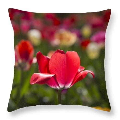 Tulips Throw Pillow featuring the photograph Rebel by Jennifer Schaefer