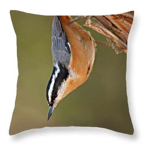 Nuthatch Throw Pillow featuring the photograph Red-breasted Nuthatch Upside Down by Max Allen