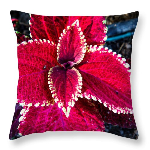 Leaf Throw Pillow featuring the photograph Red Coleus by Robert Bales