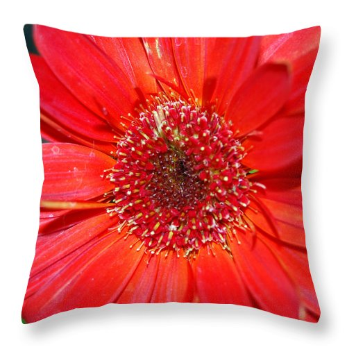 Gerber Throw Pillow featuring the photograph Red Gerber Daisy by Amy Fose