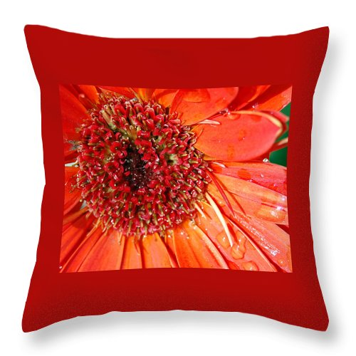 Gerber Daisy Throw Pillow featuring the photograph Red Gerbera Daisy by Amy Fose
