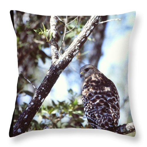 Red Shouldered Hawk Throw Pillow featuring the photograph Red Shouldered Hawk by Nicole Anderson