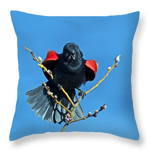 Red-winged Blackbird Throw Pillow featuring the photograph Red-winged Blackbird by Randall Ingalls