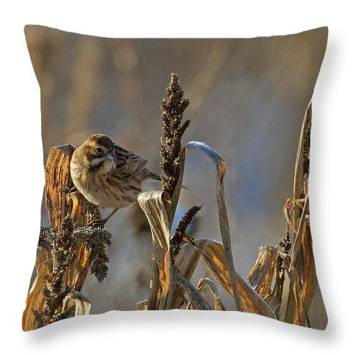 Reed Bunting Throw Pillow featuring the photograph Reed Bunting by Bob Kemp