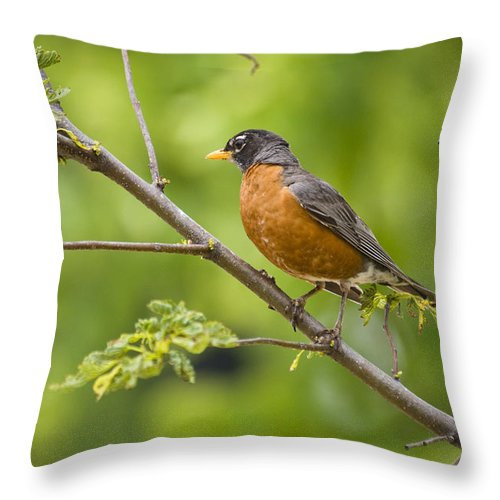 Bird Throw Pillow featuring the photograph Resting American Robin by Chad Davis