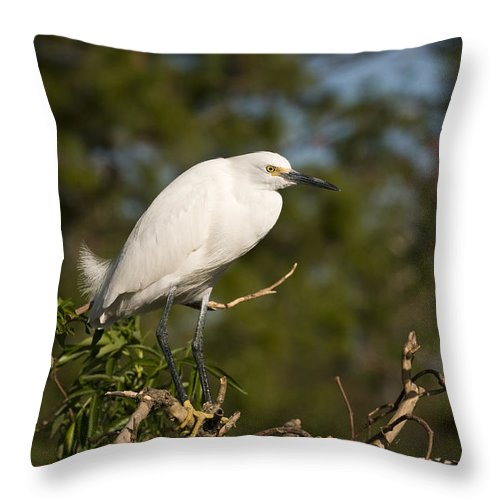 Snowy Egret Throw Pillow featuring the photograph Resting Snowy Egret by Chad Davis
