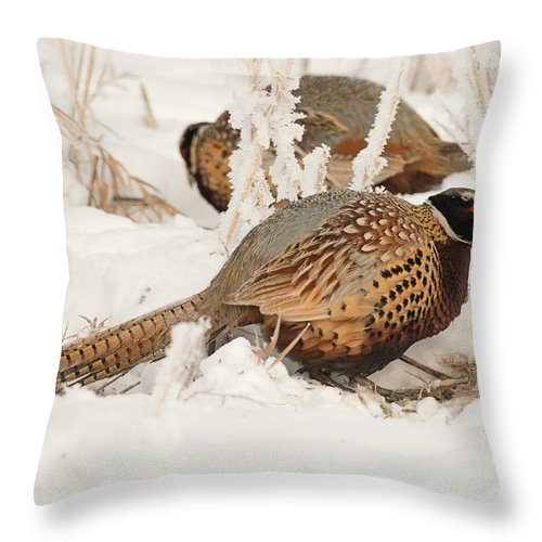 Bird Throw Pillow featuring the photograph Ring-necked Pheasant Hunting In The Snow by Dennis Hammer