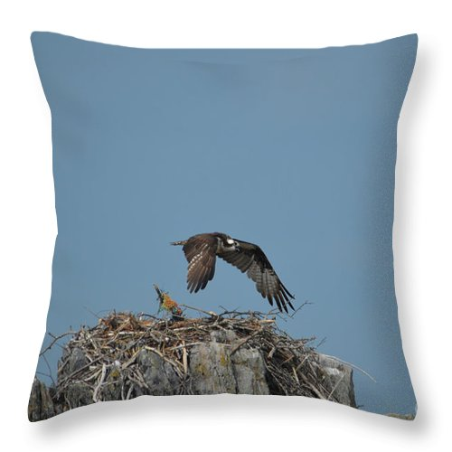 Osprey Throw Pillow featuring the photograph River Hawk Hovering Over A Nest by DejaVu Designs