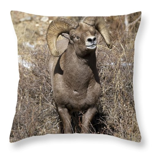 Rocky Throw Pillow featuring the photograph Rocky Mountain Big Horn Sheep by Gary Langley