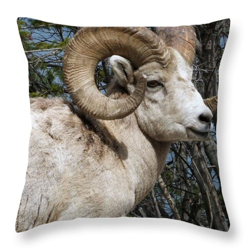 Wildlife Throw Pillow featuring the photograph Rocky Mountain Ram by Tiffany Vest