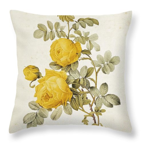 Rosa Throw Pillow featuring the drawing Rosa Sulfurea by Pierre Redoute