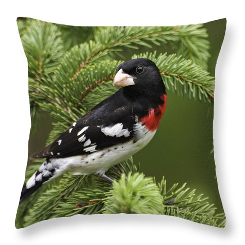 Male Throw Pillow featuring the photograph Rose-breasted Grosbeak - D002769 by Daniel Dempster