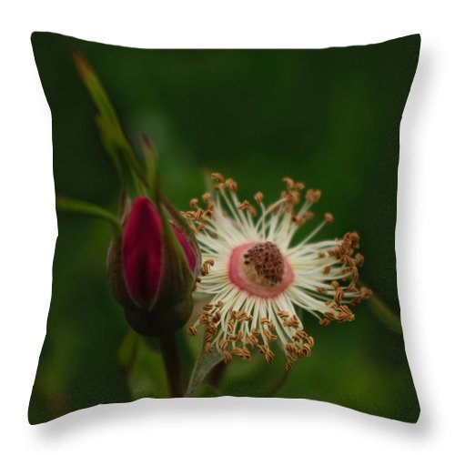 Rose Stages Throw Pillow featuring the photograph Rose Stages by Adria Trail