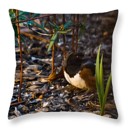 Cumberand Throw Pillow featuring the photograph Rufous Sided Towhee At A Glance by Douglas Barnett