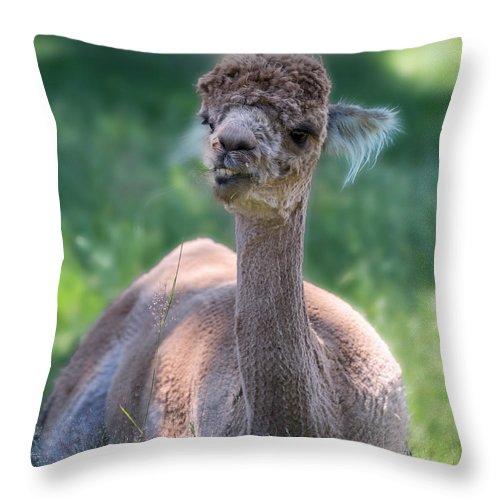San Throw Pillow featuring the photograph San Juan Alpaca Shear Heaven by Betsy Knapp