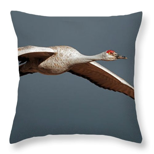 Sand Throw Pillow featuring the photograph Sand Hill Crane On Approach by Gary Langley