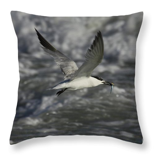 Sandwhich Tern Throw Pillow featuring the photograph Sandwhich Tern Flies Over Stormy Waves by Barbara Bowen