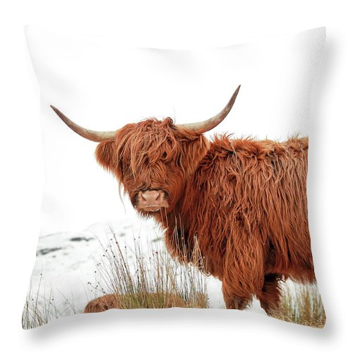 Scottish Highland Cow Throw Pillow For Sale By Grant Glendinning