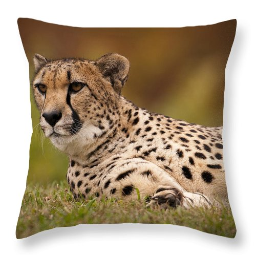 Cheetah Throw Pillow featuring the photograph She's Alert by Chad Davis