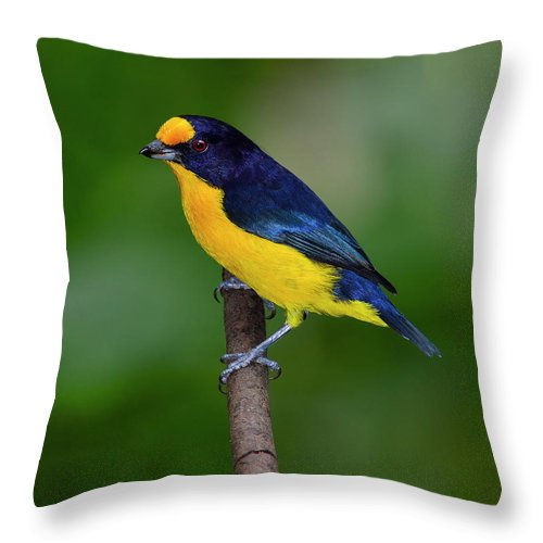 Violaceous Euphonia Throw Pillow featuring the photograph Short Round by Tony Beck