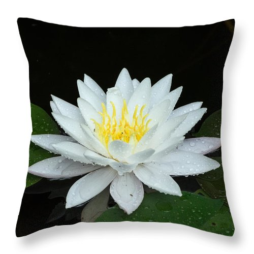 Flower Throw Pillow featuring the photograph Single While Water Lily On Black Background by Wendell Clendennen