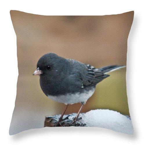 Cumberand Throw Pillow featuring the photograph Slate Junco Feeding In Snow by Douglas Barnett
