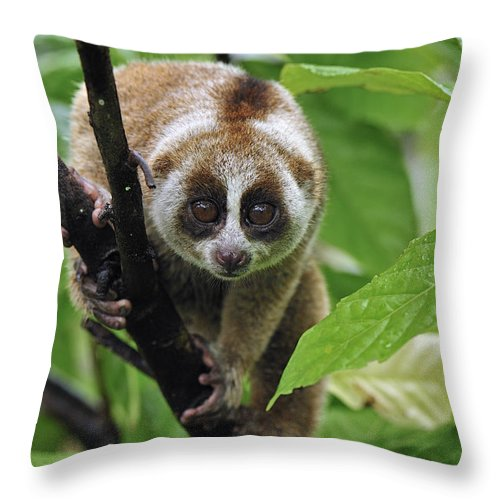 Mp Throw Pillow featuring the photograph Slow Loris Nycticebus Coucang, Northern by Thomas Marent
