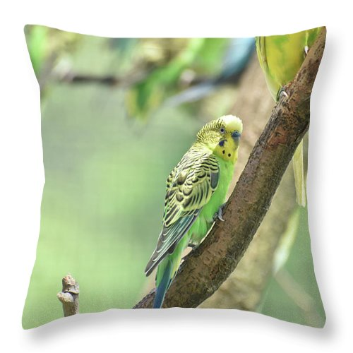 Budgie Throw Pillow featuring the photograph Small Budgie Birds With Beautiful Colored Feathers by DejaVu Designs