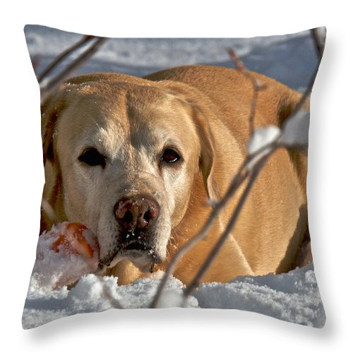 Dog Throw Pillow featuring the photograph Snow Lab by Steven Lapkin