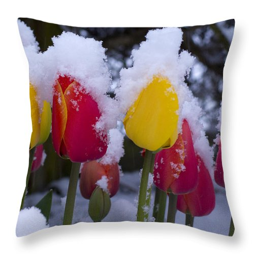 Tulips Throw Pillow featuring the photograph Snowy Tulips by Louise Magno