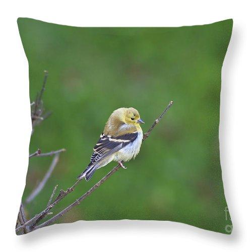 Bird Throw Pillow featuring the photograph Soft And Fluffy by Deborah Benoit