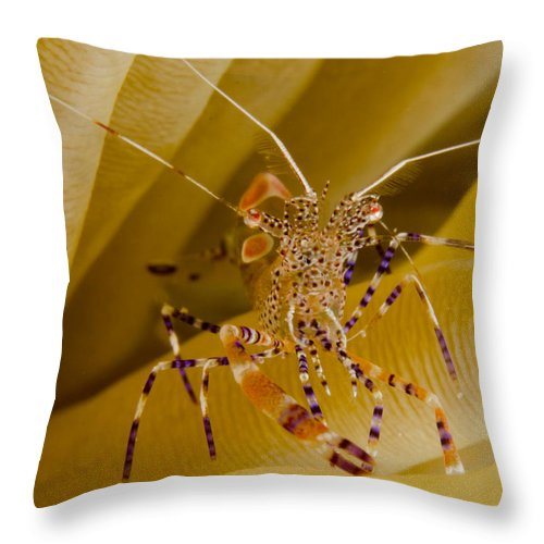 Fish Throw Pillow featuring the photograph Spotted Cleaner Shrimp On Anemone by Brent Barnes
