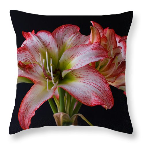 Amaryllis; Flower; Bloom; Blossom; Springtime; Spring; March; Stem. Bulb; Plant; Wildflower; Black; Throw Pillow featuring the photograph Spring Amaryllis by Allan Hughes