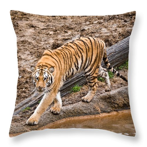 Tiger Throw Pillow featuring the photograph Stalking Tiger - Bengal by Douglas Barnett