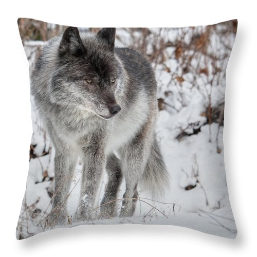 Wild Throw Pillow featuring the photograph Staredown by Colette Panaioti