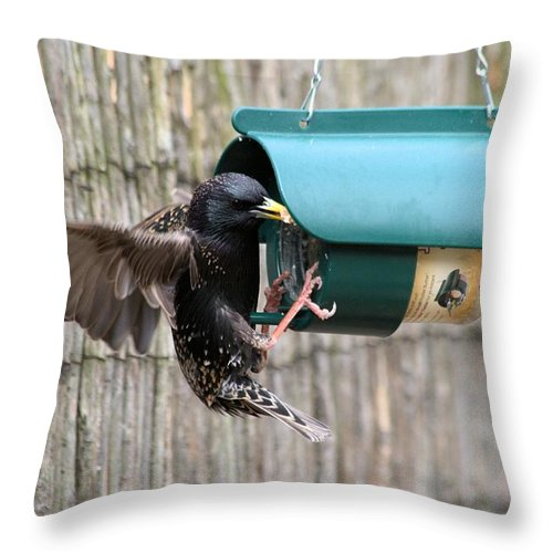 Starling On Bird Feeder Throw Pillow featuring the photograph Starling On Bird Feeder by Gordon Auld