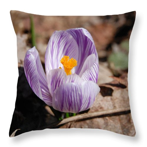 Digital Photography Throw Pillow featuring the photograph Striped Crocus by David Lane