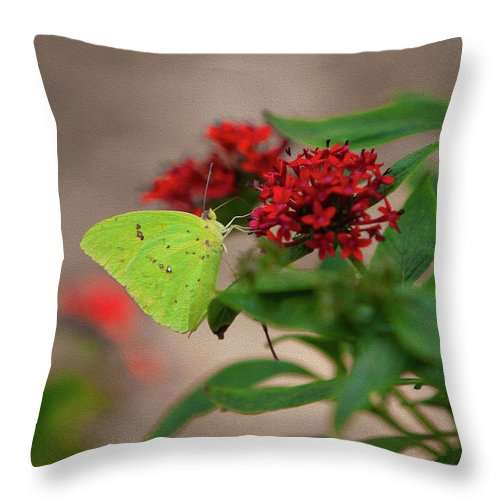 Butterfly Throw Pillow featuring the photograph Sulphur Butterfly On Red Flower by Spencer Studios