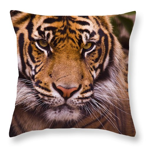 Tiger Throw Pillow featuring the photograph Sumatran Tiger by Chad Davis
