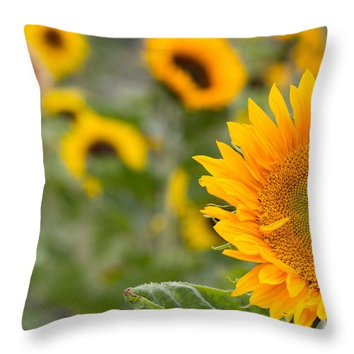 Colourful Throw Pillow featuring the photograph Sunflower by Milton Cogheil