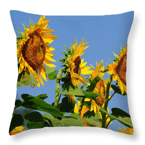 Sunflowers Throw Pillow featuring the photograph Sunflowers Looking East by Edward Sobuta