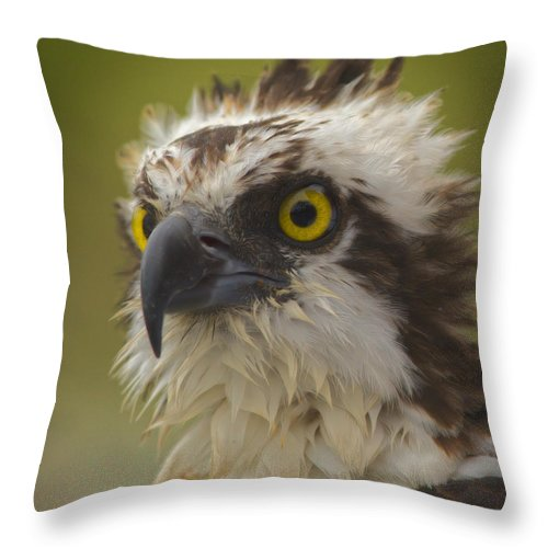 Osprey Throw Pillow featuring the photograph Survivor by MCM Photography