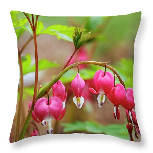 Sweet Throw Pillow featuring the photograph Sweet Bleeding Heart by Marilyn Hunt