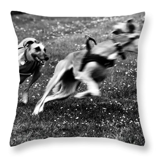 Persiangreyhound Throw Pillow featuring the photograph The Chasing Game. Ava Loves Being by John Edwards
