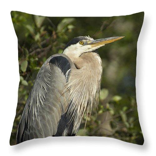 Bird Throw Pillow featuring the photograph The Gaze - Great Blue Heron - Ardea Hernias by Spencer Bush